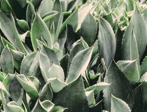 Die Qualitäten von Aloe Vera